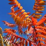 Unser Essigbaum in unserem Garten